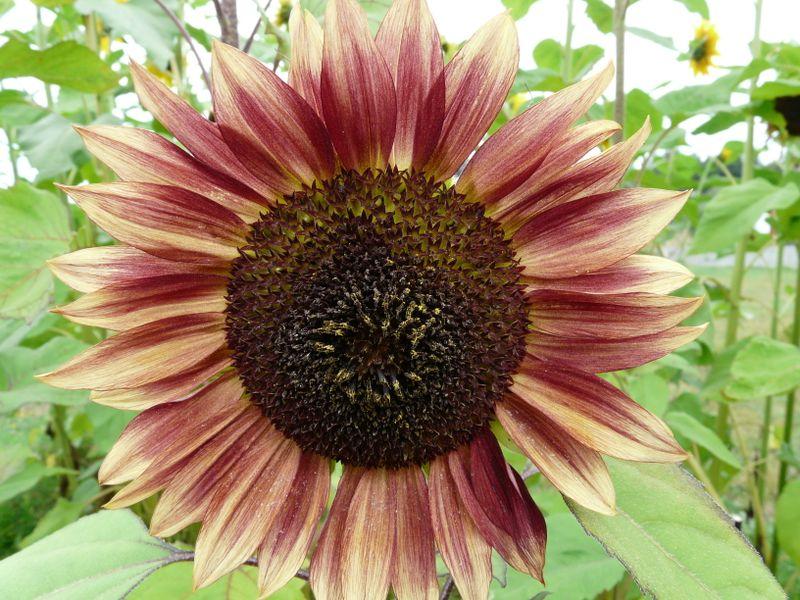 Happy sumflower