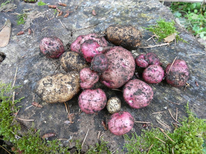 The potato crop